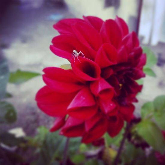 Babaanemin çiceğindeki örümcek Instagood çiçek Flower Babaanne village köy