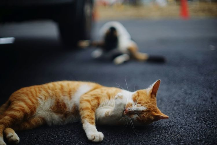 Close-up of ginger cat licking leg white lying on street