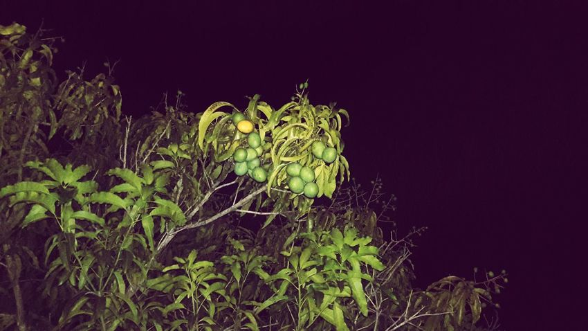 Growth Nature No People Beauty In Nature Plant Outdoors Night Mango Blanco