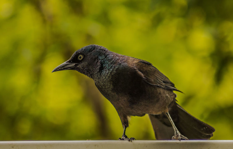 Close-up of blackbird perching on railing