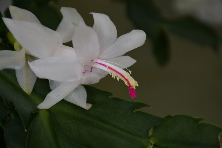 White Christmas Cactus blossom Schulumbergera Floral Flora White Flower Pink Flower Close-up Beauty In Nature Flower Head No People Plant Leaf Freshness Fragility Nature Petal Blooming Pink Color