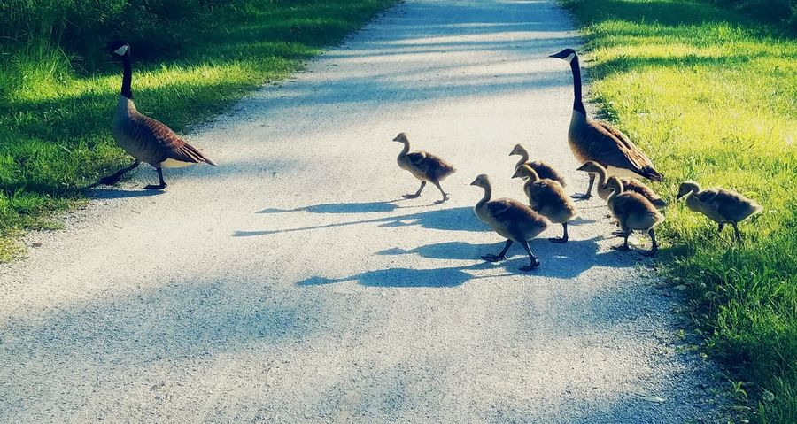 Geese Family Walking Walking Trail Goslings Crossing Paths Little Ones Following Mother And Children From My Point Of View From My Eyes To Yours Letgodhandleit Babies Crossing FOLLOW THE LEADER Landscape Geese Family Babies Wildlife Waterfowl Landcape Hurry Up On The Way Following EyeEm Diversity Art Is Everywhere Break The Mold