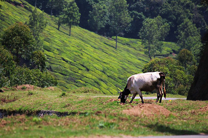Cow Cows India Photography Indiapictures Munnar India Munnar Kerala Munnar Kerala Teagardens India Idukki Landscapes Munnar Tea Estates Munnar Top Station Munnardiaries MunnarHillstation Munnartravel Munnartrip Tea Tea State