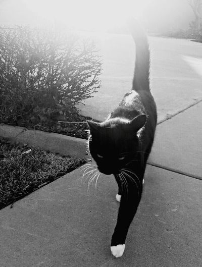 Black cat crossed my path. Cats Animals Domestic Animals Urban Life City Feline Bright Light Daytime Pretty Black And White Black Cats Cat Lovers Cat Outdoors Cute Bright Sunlight
