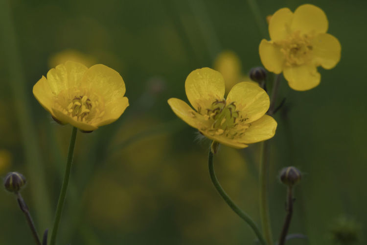 flower Sepal