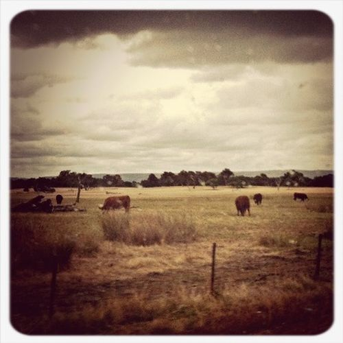 I See Cows.