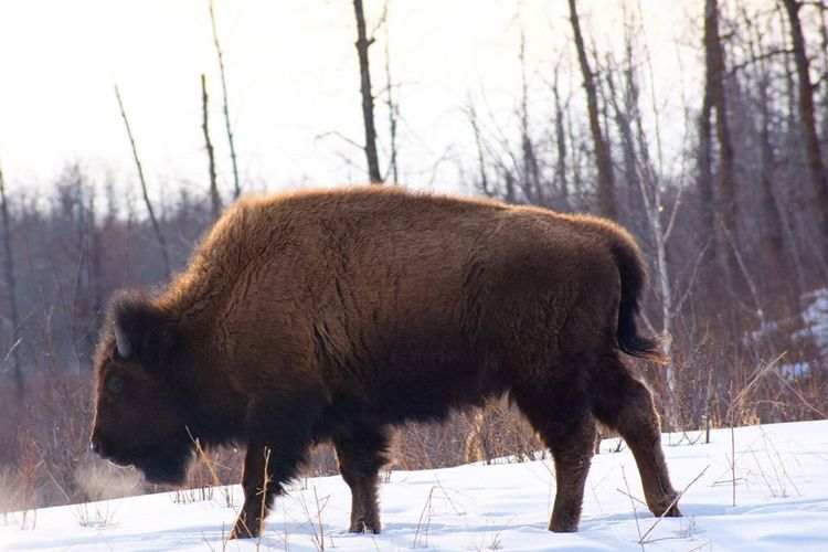 Bison in the snow Alberta Canada Springtime Outside Crisp Air National Park Bison Wildlife Large Animal One Animal No People Trees Trees Snow American Bison Snow Cold Temperature Winter Tree Standing