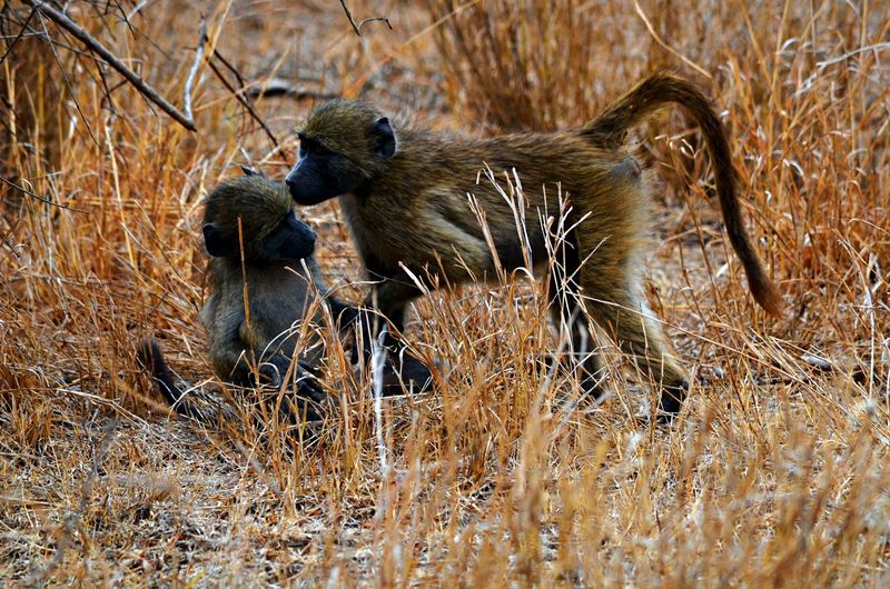 Close-Up Of Monkeys In Grass