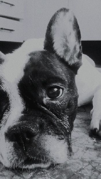 French Bulldog Dog Love Animal Bulldog Bulldog Francese Pet ♥