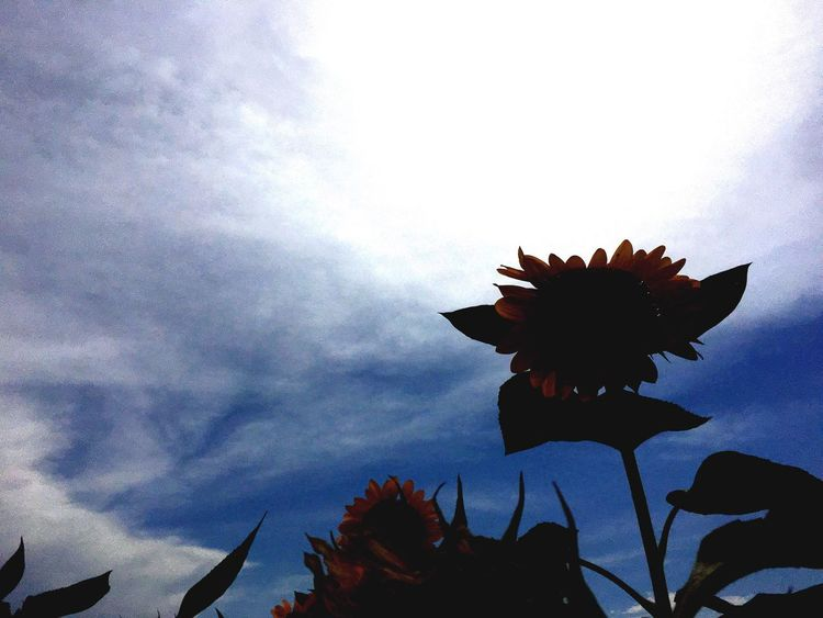 Flower Sky Petal Nature Fragility Growth Cloud - Sky Beauty In Nature Low Angle View Flower Head Day Outdoors No People Freshness Plant Blooming Close-up Eyeem Philippines