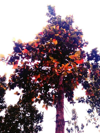 Shorea_robusta Lovely Weather Colourfulleaves