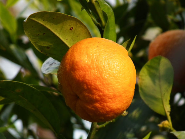 Agrumes Agrumi Arancia Citrus Fruit Close-up Day Food Freshness Fruit Growth Leaf Nature No People Orange Orange - Fruit Orange Color Orange Tree Outdoors Tree Zitrusfrucht Zitrusfrüchte