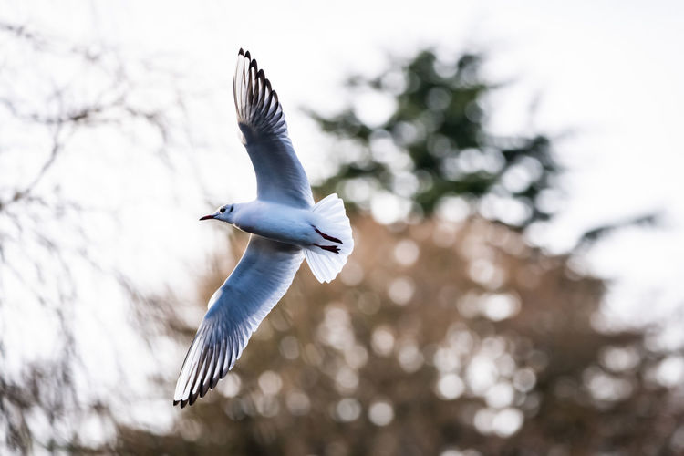 Juvenile black headed gull in flight. Chroicocephalus Ridibundus Black-headed Gull Bird In Flight Gull Seagull Flying Bird Spread Wings Mid-air Motion Outdoors One Animal Animals In The Wild Animal Low Angle View Vertebrate