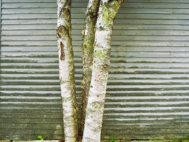 The birches, Deer Isle Maine Deer Isle Day Green Color No People Pattern Plant Nature Growth Full Frame Textured  Backgrounds Trunk Tree Trunk Wood - Material