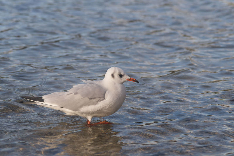 Animal Photography Beautiful Animals  Beautiful Nature Bird Photography Birds_collection Birdwatching Eye4photography  EyeEm Nature Lover Showcase: December Lake View Maglido Nature Photography Sea Seagull Seascape See Seemöwe Vogel