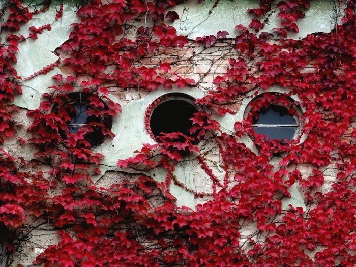 Red Ivy Ivy