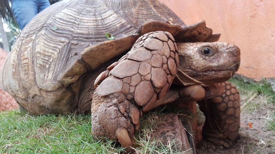 Close-up of tortoise on field