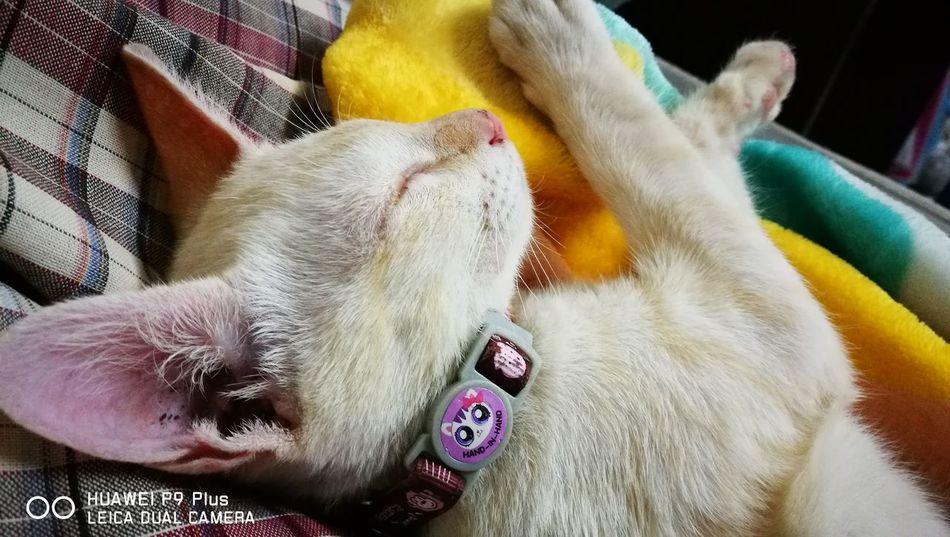 Cat Pets Animal Themes Cat Lovers Cateyes Sleeping Cat Huawei P9 Plus