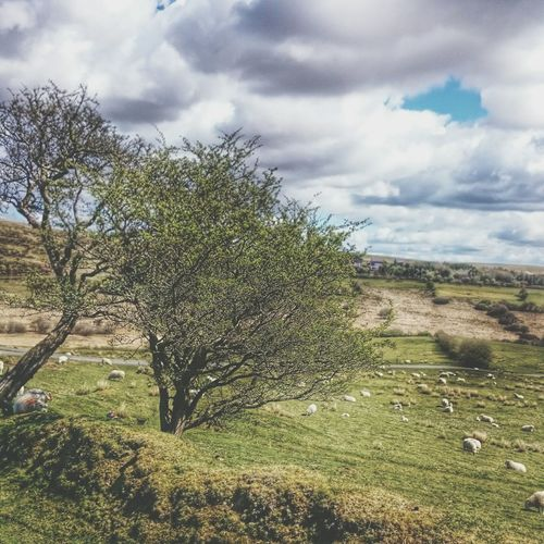 Taking Photos Landscape_photography Sheep HDR scape