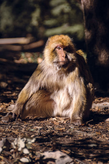 Wildlife shot of a barbary macaque monkey sitting on the ground in the National Park of Ifrane, Morocco. Africa Animal Atlas Mountain Barbary Barbary Macaque Cedar Delouse Ecology Ecosystem  Endangered Species Endemic Grooming Habitat Ifrane Louse Lousing Macaca Mammal Monkey Morocco National Park Nature Primate Protection Wildlife