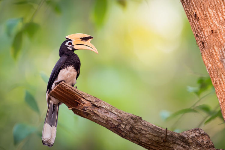 Yellow big head bird,Oriental pied Hornbill(anthracoceros albirostris) perching alone . Animal Themes Animal Wildlife Animals In The Wild Beauty In Nature Big Bill Big Head Bird Branch Close-up Day Focus On Foreground Hornbill Nature No People One Animal Outdoors Perching Tree