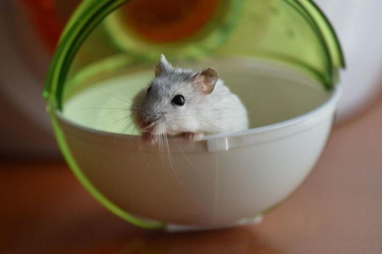 Rat peeking in toy ball