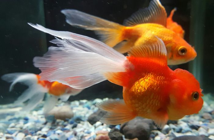 Animal Themes Fish Underwater Vibrant Color Eyes4photography EyeEm Eyeem Photography Eyeemphotography Aquariumlife Aquarium Aquarium Life Aquarium Photography EyeEm Gallery Goldfish In Water Goldfishtank Goldfishes FishEyeEm Fishtank Fish Swimming Water Orange Color Gold