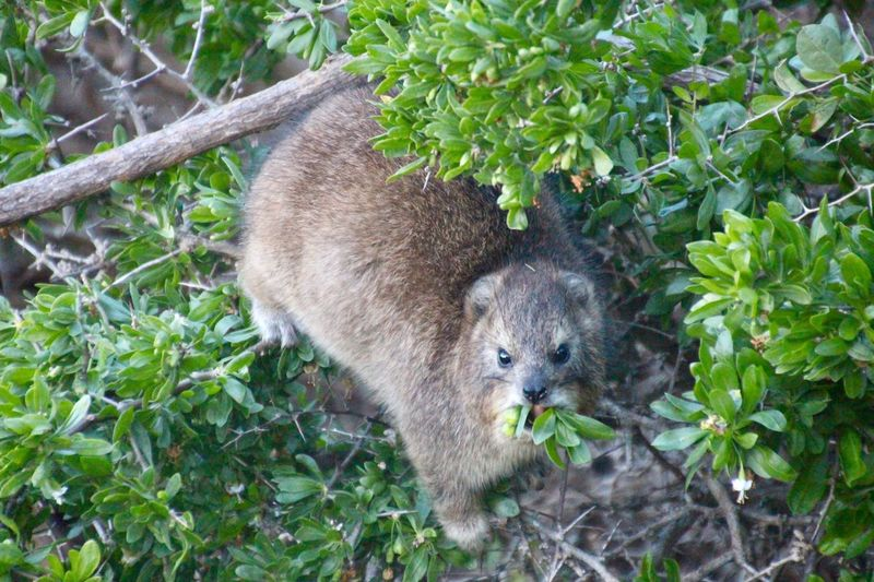 Marmot, Boulders Beach South-Africa EyeEmNewHere Animal Wildlife Mammal Animal Animals In The Wild Outdoors Leaf Animal Themes No People Day Nature Plant Raccoon Close-up Tree Boulders Beach Bouldersbeach Looking At Camera Beach Marmot South Africa Africa Wildlife Unedited Unedited Photo