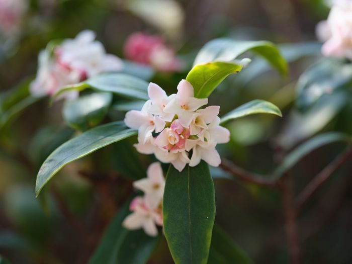 Winter Daphne Flower Growth Fragility Nature Petal Beauty In Nature Freshness Blooming Plant Close-up Focus On Foreground Flower Head