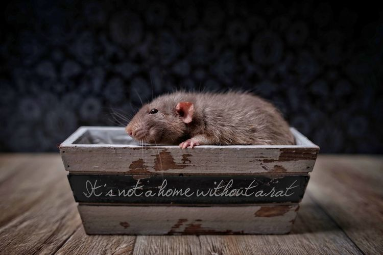 It´s not a home without a rat <3 Agouti Copy Space Cute Pets FUNNY ANIMALS Horizontal Rat Animal Animal Themes Close Up Close-up Domestic Animals Fokus Effect Indoors  Looking Sideways Mammal Mammals No People Pest Pet Photography Rattusnorvegicus Rodent Rodentlove Wood - Material Wooden EyeEmNewHere