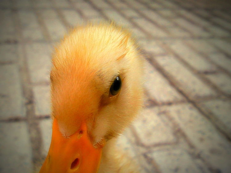 Ducky Animal Themes Bird Bird Photography Birds_collection Cage Close-up Day Duck Duckface Ducky  Duckyface Indoors  Mammal Nature No People One Animal Yellow Yellow Color اردک جوجه جوجه اردک