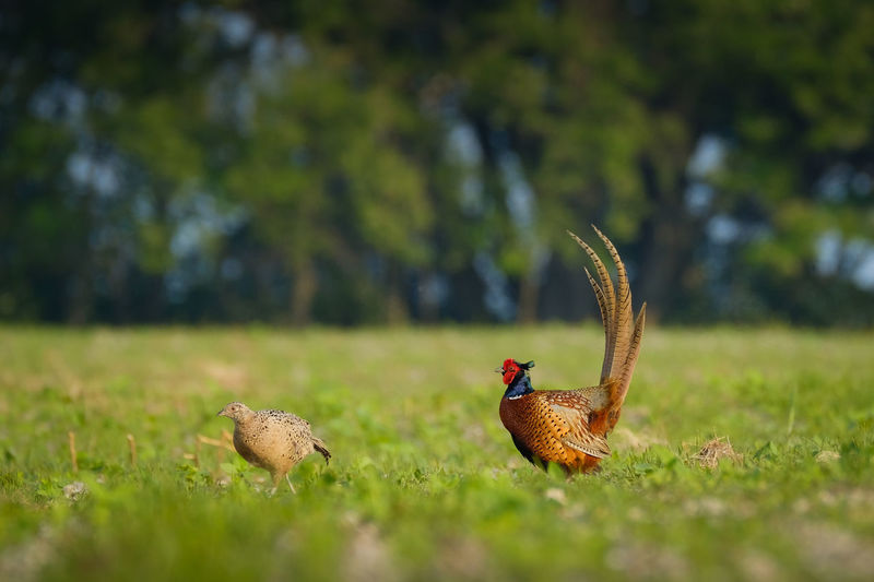 Close-up of pheasants on field