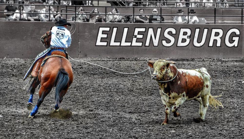 Horse One Person Riding Rodeo Livestock Cattle Ellensburg Rodeo Washington Cowboys Nikon D3100