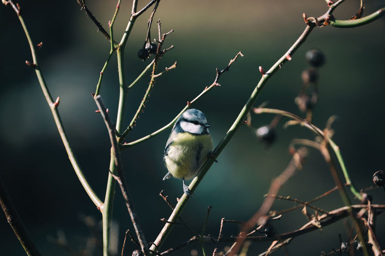 Blåmes (Cyanistes caeruleus) Animal Themes Animals In The Wild Beauty In Nature Bird Bluetit Blåmes Enjoying Life EyeEm Best Shots EyeEm Nature Lover Eyeem Sweden Fujifilm Fågel Natur Nature Nature Lover Nature Photography No People Outdoors Perching Sverige Taking Photos X-t2 XF100-400 XF100-400mmF4.5-5.6 R LM OIS WR Xf100400