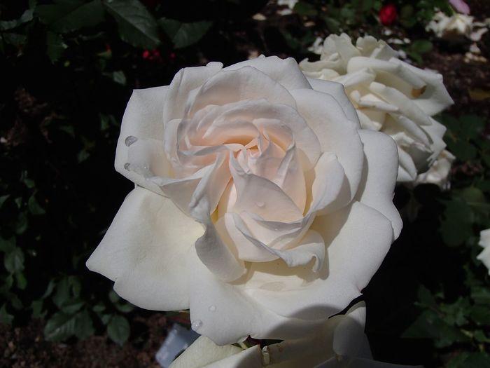 White rose Flower Flowering Plant Petal Inflorescence Vulnerability  Flower Head Fragility Rose - Flower White Color Close-up Freshness