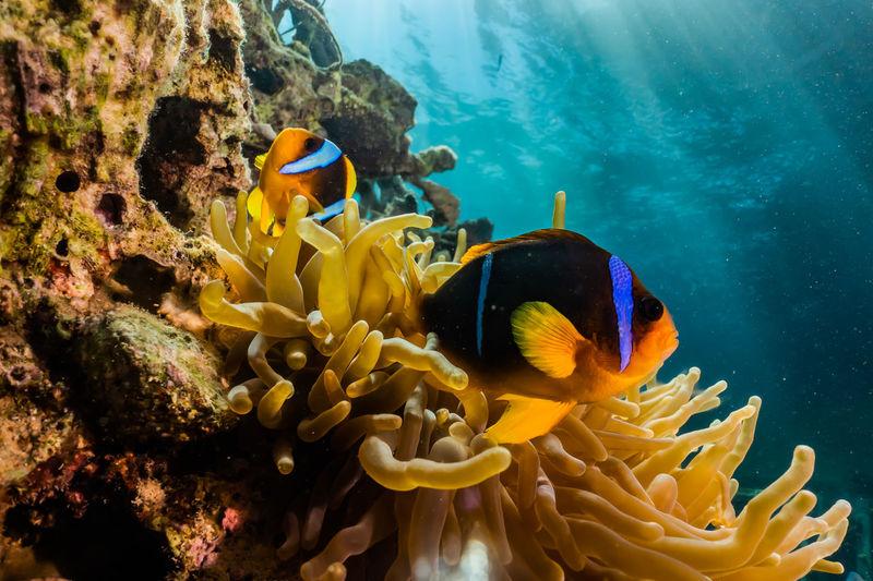 Fish swimming by sea anemone in sea