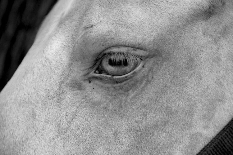 Horseeye Blackandwhite Photography Horse <3 Black & White Eye Animals