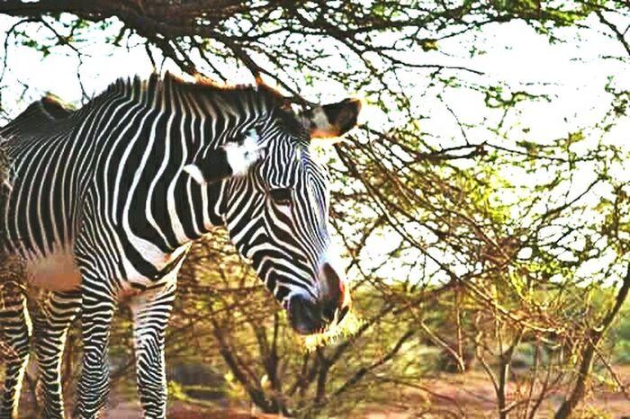 Beautiful ♥ Animals Natural Beauty Sauvage Africa Savane Zebra Life Nature