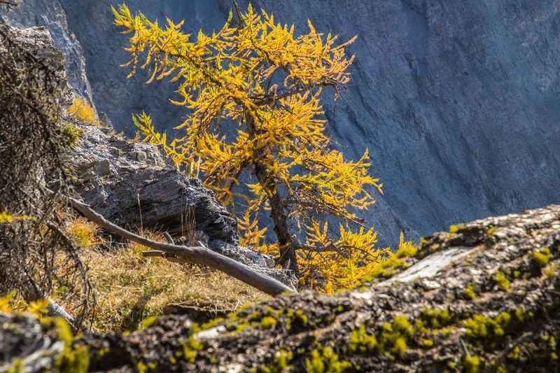 col of lien,valais,swiss Plant Nature Tree Yellow No People Beauty In Nature Rock Day Tree Trunk Rock - Object Outdoors Trunk Solid Autumn Tranquility Plant Part Close-up Water Land Branch Lichen Change