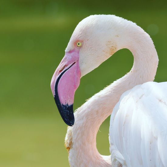 Flamingo style Pink Pink Color Pink Power Profile Eye Yellow Eyes Nature_collection Nature Wildlife Wildlife & Nature Minimal Fine Art Photography Flamingo Bird Swan Cockatoo Beak Multi Colored Pink Color Feather  Portrait Close-up Tropical Bird Green Background Scarlet Macaw