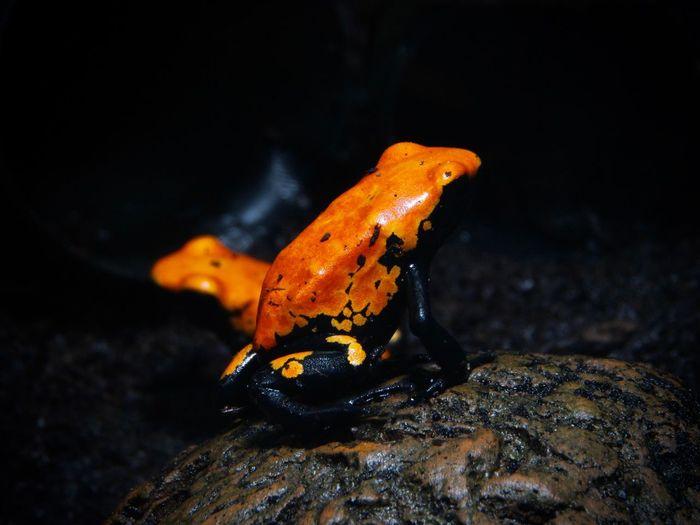 Nature Frog Frogs Frosch No People Animal Themes Pfeilgiftfrosch Arrow Poison Frog Adelphobates Galactonotus Dentrobaten One Animal Animals In The Wild Night Orange Color Animal Wildlife Close-up Water Outdoors Sea Life
