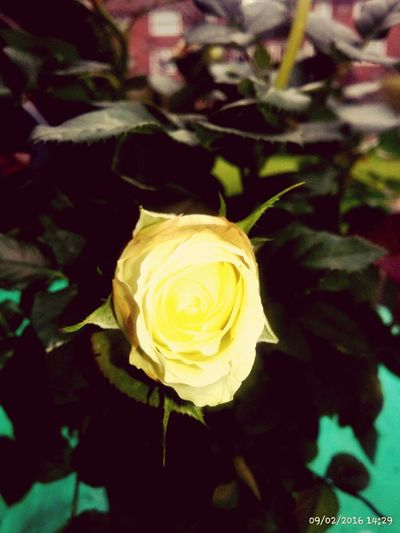Petal Flower Freshness Flower Head Fragility Yellow Rose - Flower Beauty In Nature Close-up Single Flower Nature Growth Springtime Plant Focus On Foreground Day Blooming Outdoors Blossom In Bloom