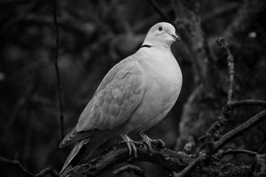Dove Still Life Photography Capture The Moment EyeEm Nature Lover Moments Silence Of Nature Bird One Animal No People Animal Wildlife Close-up Beauty In Nature Outdoors Animal Themes Wildlife Photography Wild Animal Beautiful Nature Check This Out Taking Photos From My Point Of View Day Wintertime Dezember 2016 EyeEm Best Shots - Nature Animals In The Wild