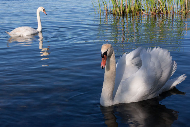 Two Swans In The Morning Apart Beak Busy Day Elegant Italia Lake Varese Swans Swans Swimming Animal Themes Beauty In Nature Close Up Feathers Of A Bird Heart Shape Italy Lake Landscape Movement No People Outdoors Reflection Swans On The Lake Two Animals Water Bird White Color Wings
