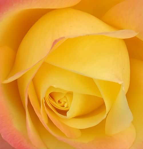 Rose - Flower Yellow Flower No People Beauty In Nature No Filter