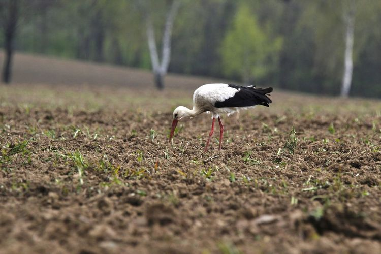 Störche,Germany Animal Themes Animal Wildlife Animals In The Wild Bird Day Nature No People Outdoors Storch Störche White Stork