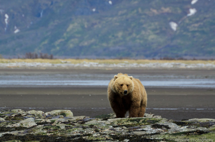 Alaska Animal Themes Animal Wildlife Animals In The Wild Bear Beauty In Nature Day EyeEmNewHere Grizzly Bear Katmai National Park Lake Looking At Camera Mammal Nature No People One Animal Outdoors Rock - Object Water