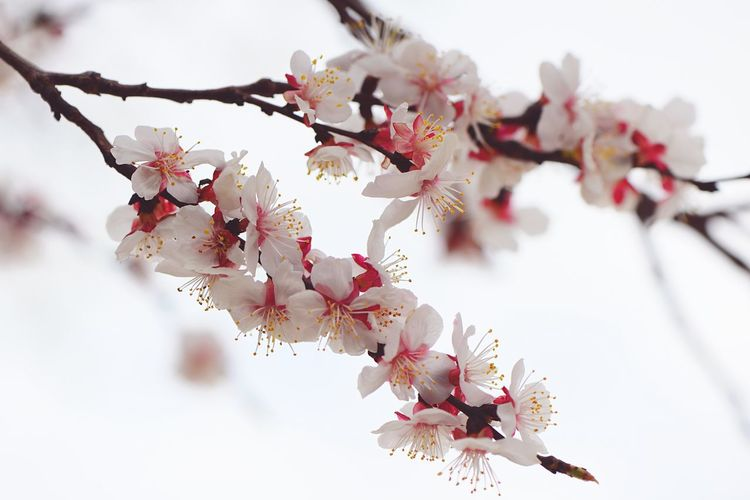 Apricot Blossoms Apple Blossom Plant Flower Branch Flowering Plant Fragility Tree Freshness Growth Beauty In Nature Blossom Springtime Nature Pink Color Cherry Blossom Day Low Angle View