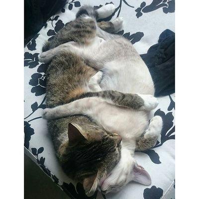 Cuteness overload 😍 Wassi und Blanco umarmen sich im Schlaf... Mein Herz schmilzt. Das war auf jeden Fall die richtige Entscheidung, Blanco zu behalten 💞 Blanco_the_cat Wassilita_the_cat Schlafendetiere_tsez