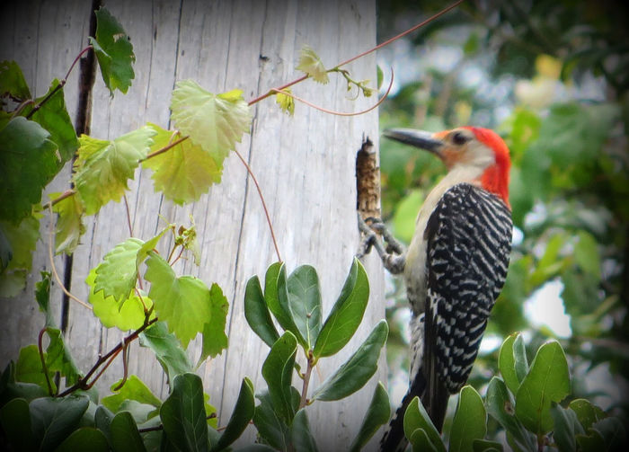 Mr. Woodpecker working hard on his new home. Animal Themes Animal Wildlife Animals In The Wild Beauty In Nature Bird Chipping Away Close-up Day DeBary Florida Growth Leaf Nature No People One Animal Outdoors Perching Plant Red Red Bellied Wood Pecker Red Hair Tree Woodpecker In Tree